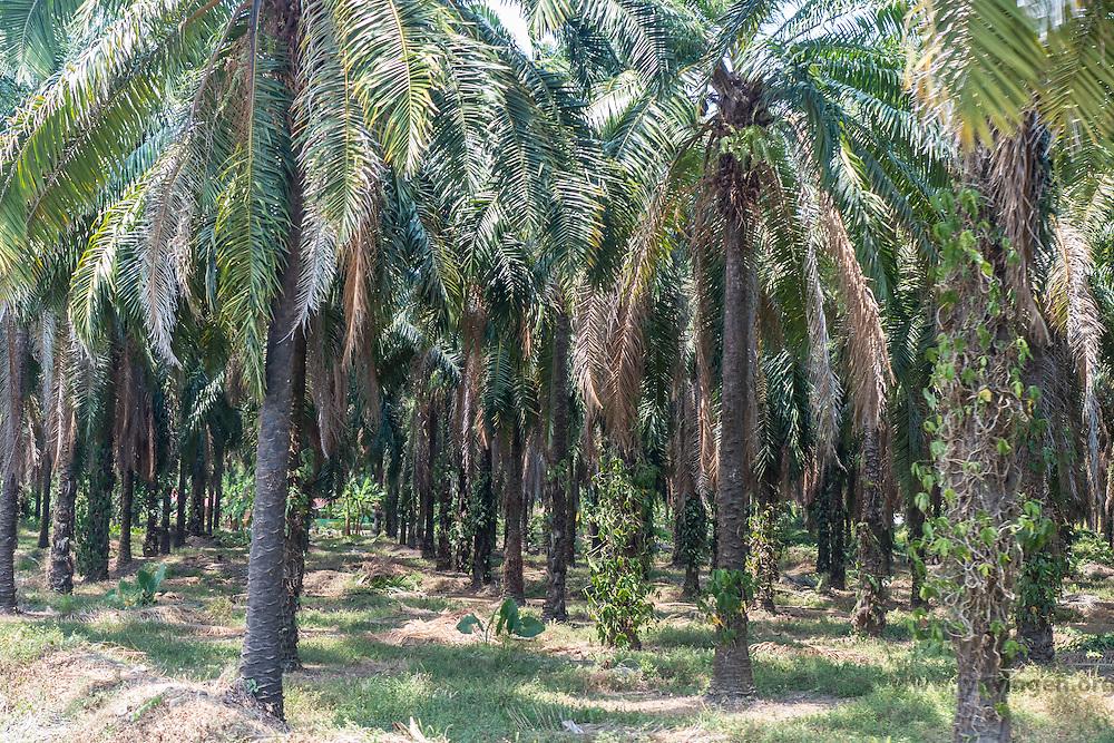 Palm oil plantation, Cost Rica