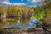 Typical Everglades scene Great Blue Heron, Alligator, Black vultures in a pond in The Everglades, Florida, USA