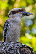 Laughing Kookaburra, Dacelo novaeguineae, captive, education bird, Sky King Falconry.