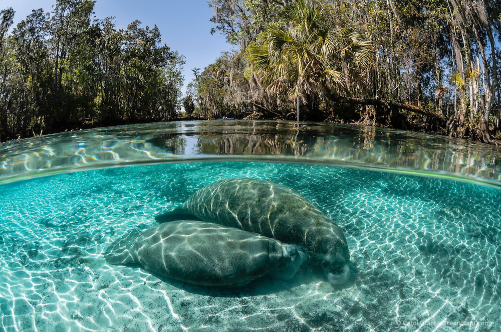 Florida manatee, Trichechus manatus latirostris, a subspecies of the West Indian manatee, endangered. A mother nurses her calf in the warm shallow freshwater of the springs. A kayaker and snorkelers are in the far background. Horizontal orientation split image with rainbow light reflected on the water surface. Three Sisters Springs, Crystal River National Wildlife Refuge, Kings Bay, Crystal River, Citrus County, Florida USA.