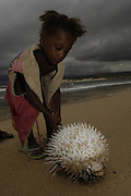Antandroy child inspecting pufferfish that was brought in by fishermen. These fish are poisonous and therefore not eaten so just discarded when caught in the fishing nets. Lavanono fishing village, south coast of MADAGASCAR