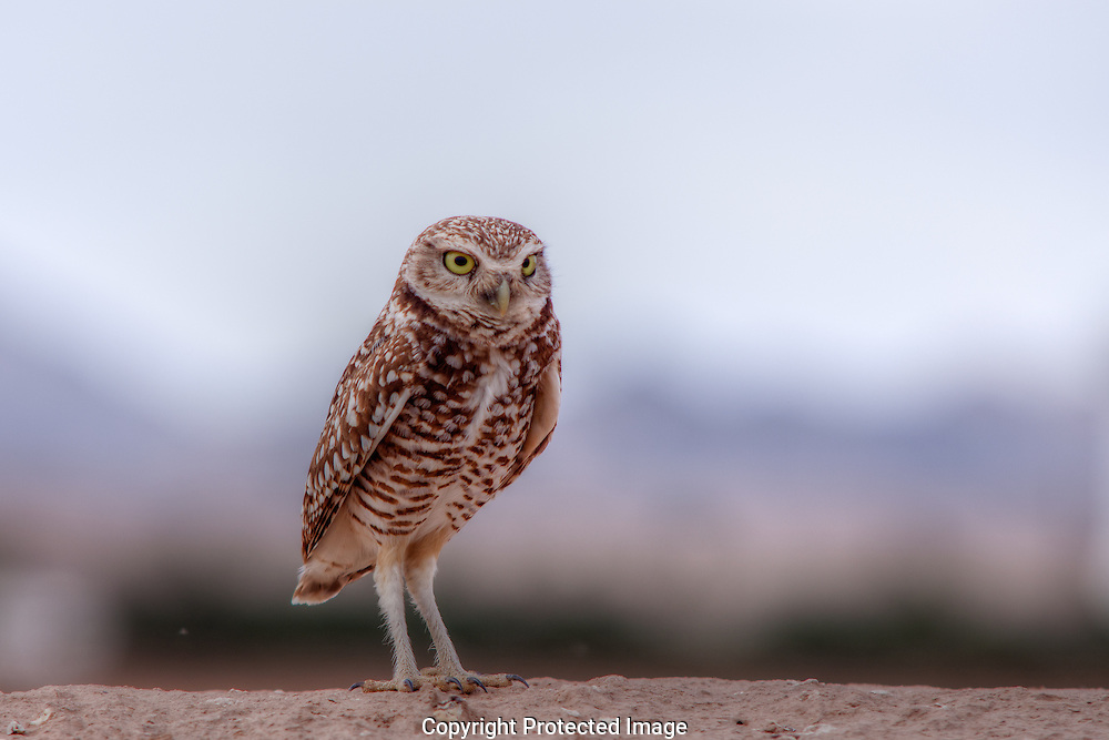 Burrowing Owl staying close to it's hole guarding against  predators.