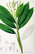 Leptaspis urceolata from the 19th century manuscript 'Plantae Javanicae rariores, descriptae iconibusque illustratae, quas in insula Java, annis 1802-1818' (Java Plants, Description of plants on the island of Java) by Horsfield, Thomas, 1773-1859 Published in Latin in London in 1838