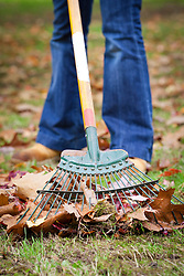Raking leaves from a lawn with a springtine rake