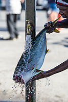 Washing a filitted Yellowtail at the Struisbaai Harbour, Struisbaai Harbour, Struisbaai, Western Cape, South Africa