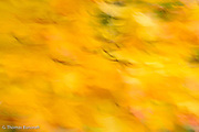 When the wind blows strongly, the yellow colors begin to blur together forming an interesting abstract of colors.