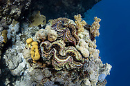 Giant clam-bénitier géant (Tridacna gigas) of Red Sea, Sudan.
