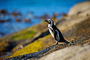 "The African penguin (Spheniscus demersus), also known as the jackass penguin and black-footed penguin is a species of penguin, confined to southern African waters. It is also widely known as the ""jackass"" penguin for its donkey-like bray, although several related species of South American penguins produce the same sound."