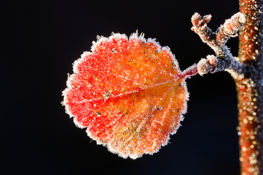 Morning light highlights frost crystals on a Resin Birch (Betula glandulosa) leaf in the Maclaren River Valley in late autumn in Interior Alaska.