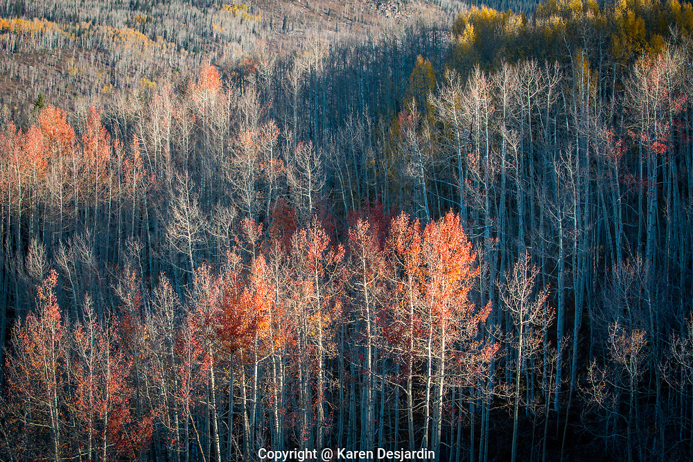 First light of the morning highlights the last of the fall color lingering on a few aspen trees on Buffalo Pass near Steamboat Springs, Colorado.  http://www.gettyimages.com/license/694152543
