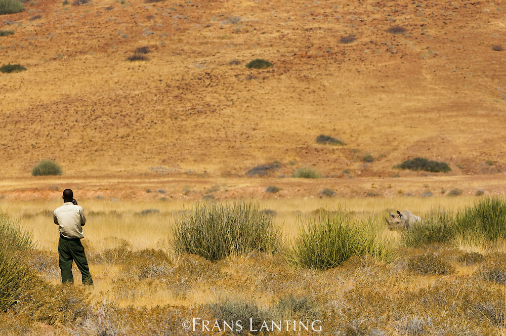 Field scout observing desert black rhino, Palmwag, Torra Conservancy, Damaraland, Namibia