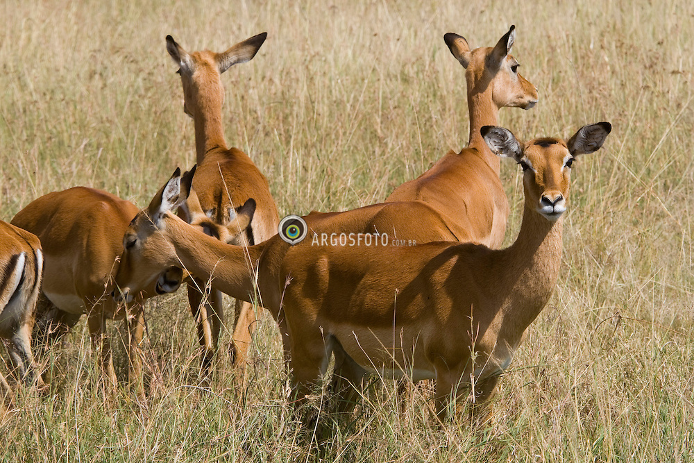 Impala at Masai Mara (also spelled Maasai Mara), a large park reserve in south-western Kenya.  / A impala (Aepyceros melampus) eh um antilope unico membro da sub-familia de bovideos Aepycerotinae. Reserva Nacional Masai Mara, o mais famoso parque nacional do Quenia,  situado no Vale do Rift.