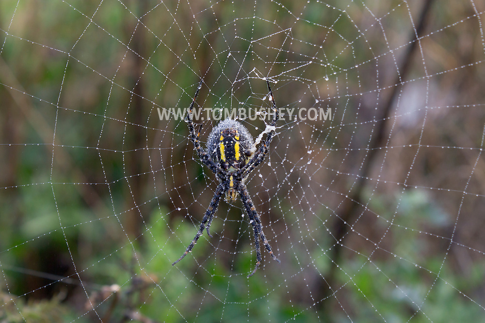 Wawayanda, New York  -A black and yellow garden spider (Argiope aurantia), also known as a writing spider or corn spider, and its web are covered in dew on the morning of Sept. 23, 2013. ©Tom Bushey / The Image Works