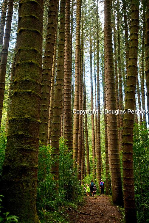 Cook Pine, Judd Trail, Nuuanu Valley, Honolulu, Oahu, Hawaii