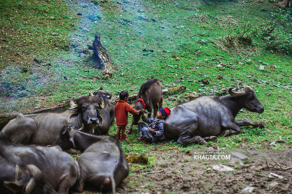 Kids of Forest Nomads known as Van Gujjar posing with a buffalo calf in the forests of Chaupal region of Shimla District in Himachal Pradesh, India