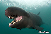 false killer whale, Pseudorca crassidens, with mouth open, showing teeth