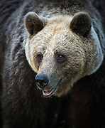 A close-up portrait of an Eurasian Brown Bear in a forest in Finland