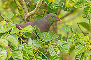 New Zealand Wood Pigeon, Tiritiri Matangi, New Zealand