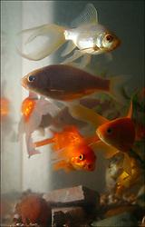 UK ENGLAND LONDON SEP02 - Goldfish in Jennifer's aquarium, photographed with side-flash.<br /> <br /> <br /> <br /> jre/Photo by Jiri Rezac<br /> <br /> <br /> <br /> © Jiri Rezac 2002<br /> <br /> <br /> <br /> Contact: +44 (0) 7050 110 417<br /> <br /> Mobile:  +44 (0) 7801 337 683<br /> <br /> Office:  +44 (0) 20 8968 9635<br /> <br /> <br /> <br /> Email:   jiri@jirirezac.com<br /> <br /> Web:     www.jirirezac.com