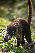 Costa Rica, February 2015. The white-nosed coatimundi, or coati,(Nasua narica) is one of Costa Rica s more than 200 mammal species. Made up mostly of primary rainforest, The Arenal Volcano National Park encompasses four different life zones and harbours a tremendous amount of flora and fauna. In fact, nearly 75% of the total 850 species of birds that have been identified in Costa Rica can be found here. Costa Rica is bestowed with an intense array of biodiversity and environmental attractions - majestic volcanoes, misty cloud forests, stunning river valleys, and hundreds of beaches along the Pacific and Caribbean coasts. Photo by Frits Meyst / MeystPhoto.com