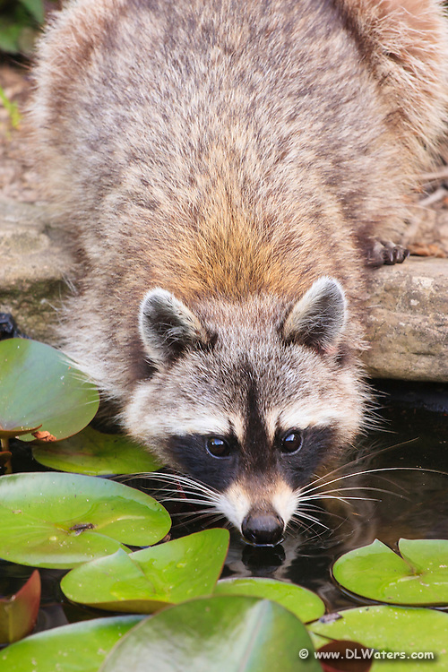 A raccoon drinking at our backyard pond.
