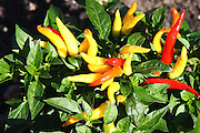 Ornamental Peppers produce an explosion of color.