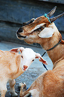 Close-up of Balinese goats.