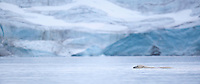 Polar bear (Ursus maritimus) swimming in front of glacier, Svalbard, Norway.