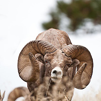 bighorn ram trophy wild rocky mountain big horn sheep