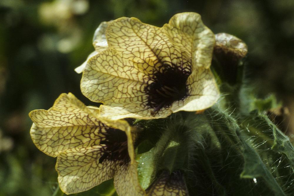 Bilzekruid, Hyoscyamus niger