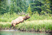 Elk on the Bow River, Banff National Park, Alberta, Canada.