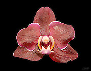 A red phaleanopsis orchid grown and bloomed by the photographer.<br /> <br /> Phalaenopsis are also known as Moth Orchids and are native throughout southeast Asia from the Himalayan mountains to the islands of Polillo, Palawan and Zamboanga del Norte in the island of Mindanao in the Philippines and northern Australia.