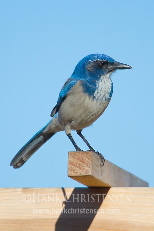 A western scrub jay perches on a fence