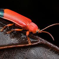 Leaf-mining beetle (Bothryonopa sp.)