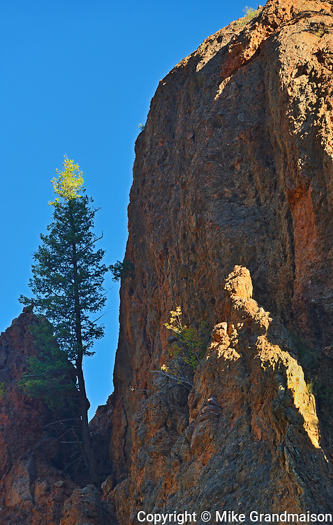 Lodgepole pine tree and Red rock of Sinclair Canyon. Canadian Rocky Mountains, Kootenay National Park, British Columbia, Canada