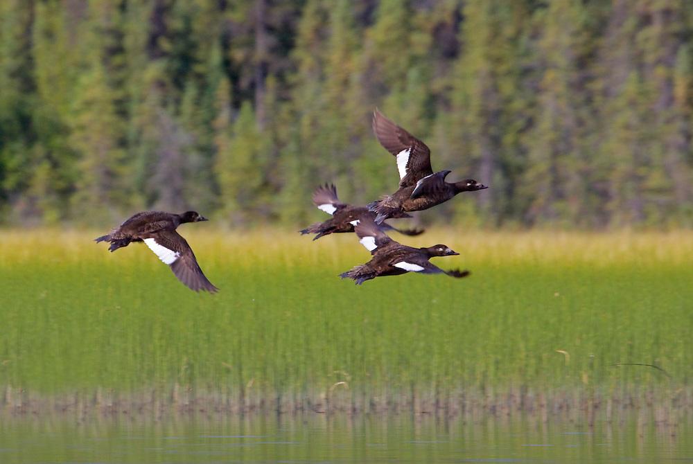 Alaska. White-winged Scoters (Melanitta fusca) taking off from Pippin Lake along the Richardson Hwy.