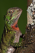 Guichenot's Dwarf Iguana (Enyaliodes laticeps)<br /> Amazon Rainforest, Pastaza Province<br /> South ECUADOR.  South America