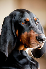 Star - Coonhound
