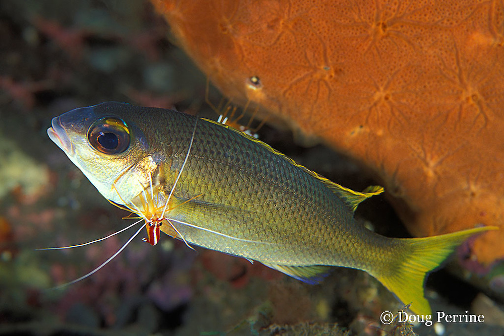 juvenile snapper, possibly brownstripe red snapper, Lutjanus vitta, being cleaned by humpback cleaner shrimp, Lysmata amboinensis, Bali, Indonesia