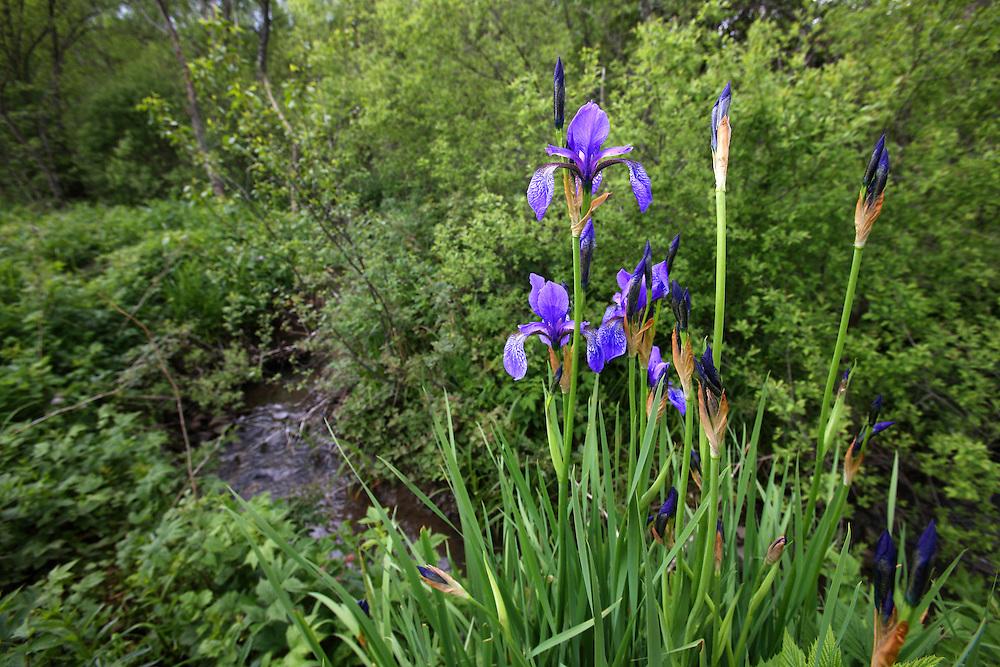 Siberian iris (Iris sibirica) Bieszczady Mountains. Poland