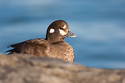 Harlequin Duck, Histrionicus histrionicus, female, Barnegat Light, New Jersey