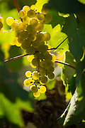 Chardonnay cluster, Dubral, Rattlesnake Hill AVA, central Washington