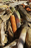 Agricoltura la raccolta del granoturco a Storo nella Valle del Chiese 29-10-2010 © foto Daniele Mosna