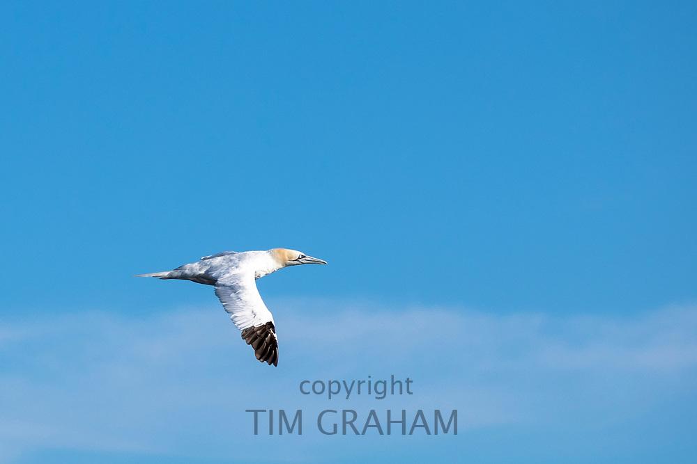Gannet, Morus bassanus, in flight in blue sky over the North West Atlantic Ocean, Massachusetts, USA