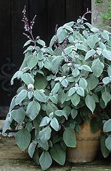 Plectranthus argentatus in a terracotta pot.
