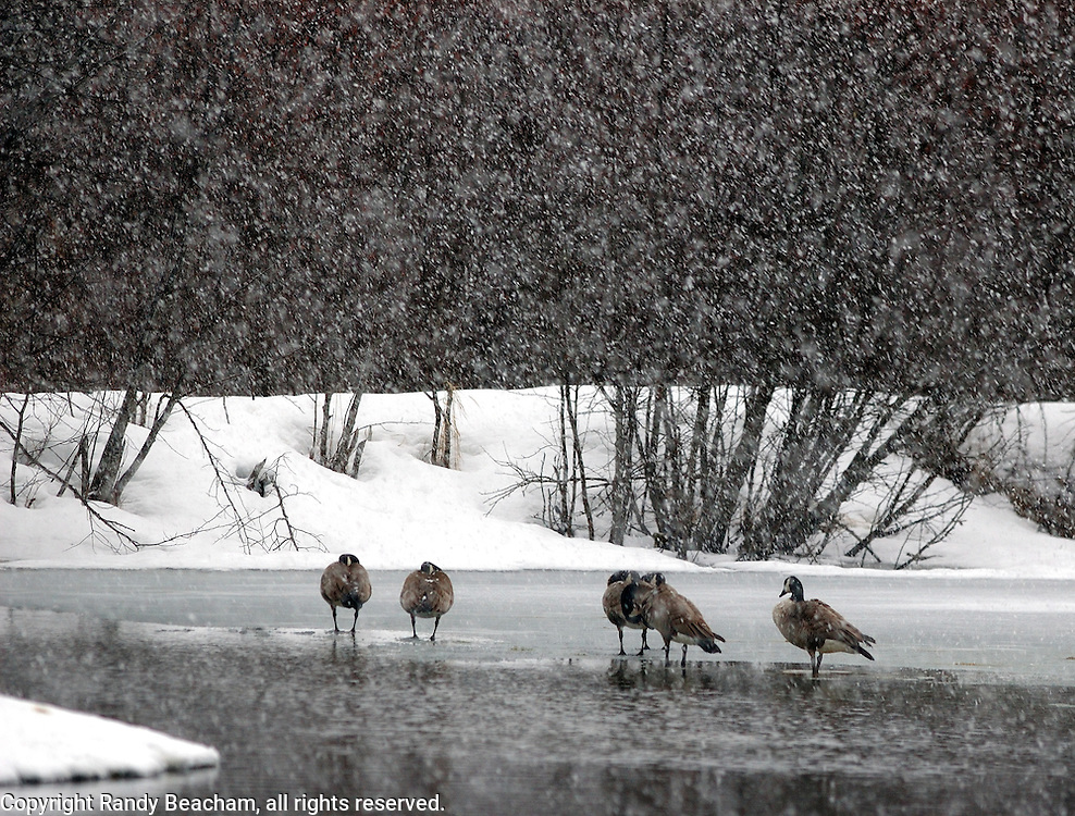 Canada geese on a forest pond during a snowstorm on the first day of spring. Yaak Valley in the Kootenai National Forest, Purcell Mountains, northwest Montana