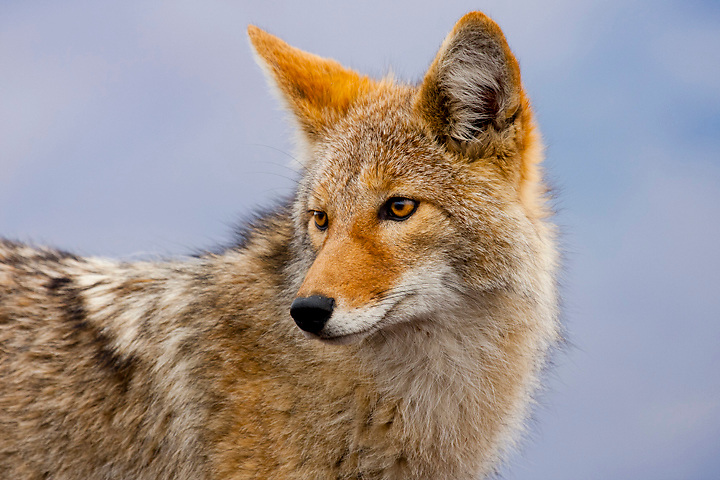 A coyote in Death Valley National Park has become habituated to humans and can now be commonly found searching for food and trash left behind by tourists dangerously close to Hwy. 190.