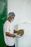 A worker checks the quality of durian fruits and prepare them for flash freezing for export at a small processing plant owned and run by Tan Eow Chong and his relatives in Relau, Pulau Pinang, Malaysia on June 17th, 2019. Tan Eow Chong is an award-winning durian farmer famed for his Musang King variety, and last year exported 1000 tons of the fruit to China from his family-run durian empire, expanding from an 80 acre farm to 1000 acres.  Photo by Suzanne Lee/PANOS for Los Angeles Times