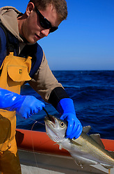 UK ENGLAND CORNWALL SENNEN COVE 11JUN08 - Handline fisherman Will Treneer (19) of Newlyn lands a Pollack off the coast of southwest Cornwall on his boat, the Cornish Rose...jre/Photo by Jiri Rezac / WWF UK..© Jiri Rezac 2008..Contact: +44 (0) 7050 110 417.Mobile:  +44 (0) 7801 337 683.Office:  +44 (0) 20 8968 9635..Email:   jiri@jirirezac.com.Web:    www.jirirezac.com..© All images Jiri Rezac 2008 - All rights reserved.