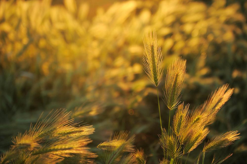 Barley, Hordeum vulgare L.<br /> Campanarios de Az&aacute;ba reserve, Salamanca Region, Castilla y Le&oacute;n, Spain
